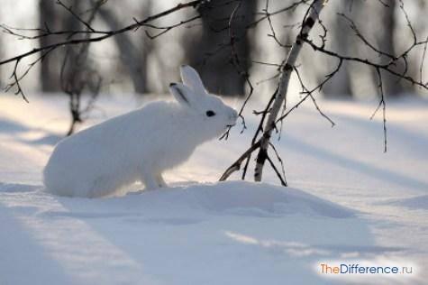 Заяц делает запасы на зиму или нет: чем питается в холодное время года