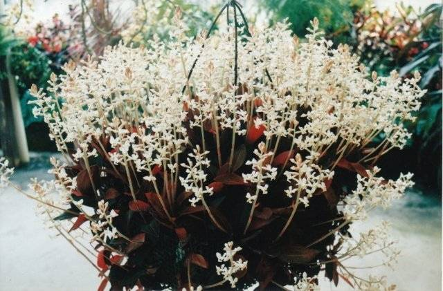 "Орхидея ""лудизия"": фото, размножение, уход в домашних условиях"