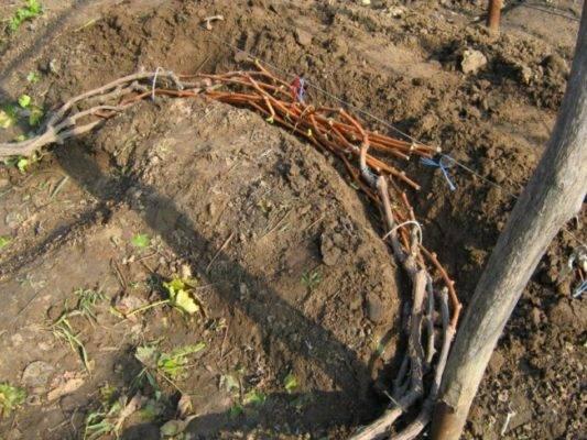 Как укрыть виноград на зиму, чтобы он не вымерз