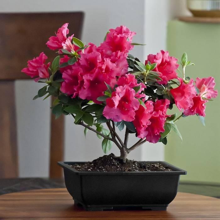 Как ухаживать за азалией после покупки в домашних условиях: что делать с цветком