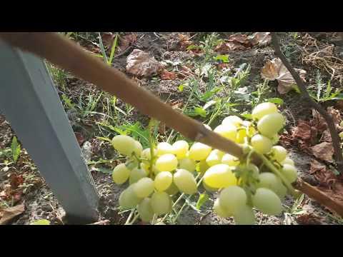 Виноград дружба описание сорта фото отзывы