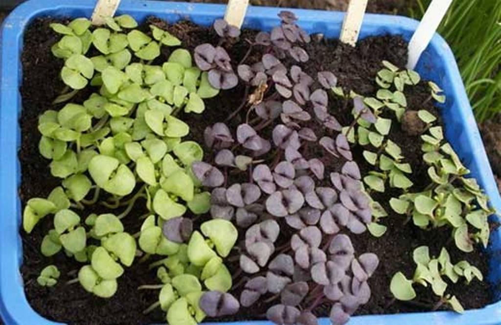 Базилик: выращивание на подоконнике и на огороде