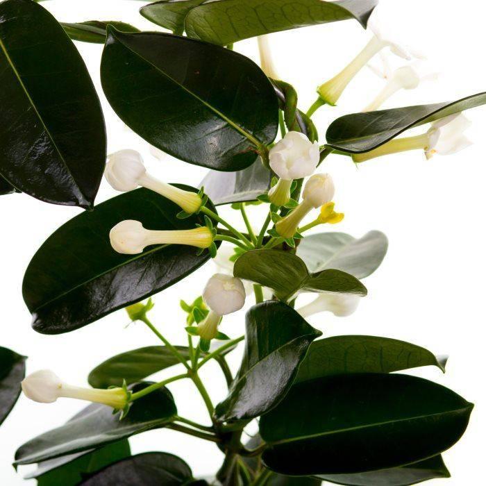 Стефанотис (38 фото): размножение и уход в домашних условиях. описание видов флорибунда, обильноцветущего и других. что делать, если его листья желтеют?