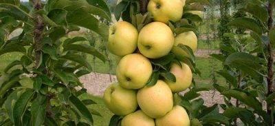 Колоновидные яблони: сорта, отзывы, для средней полосы россии, уход