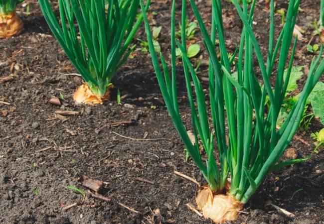 Выращивание лука-шалот: посадка в открытый грунт и правила ухода, советы