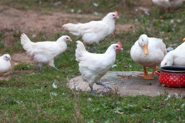 Описание и особенности бресс гальской породы кур