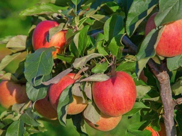 Описание сорта яблони минусинское красное: фото яблок, важные характеристики, урожайность с дерева