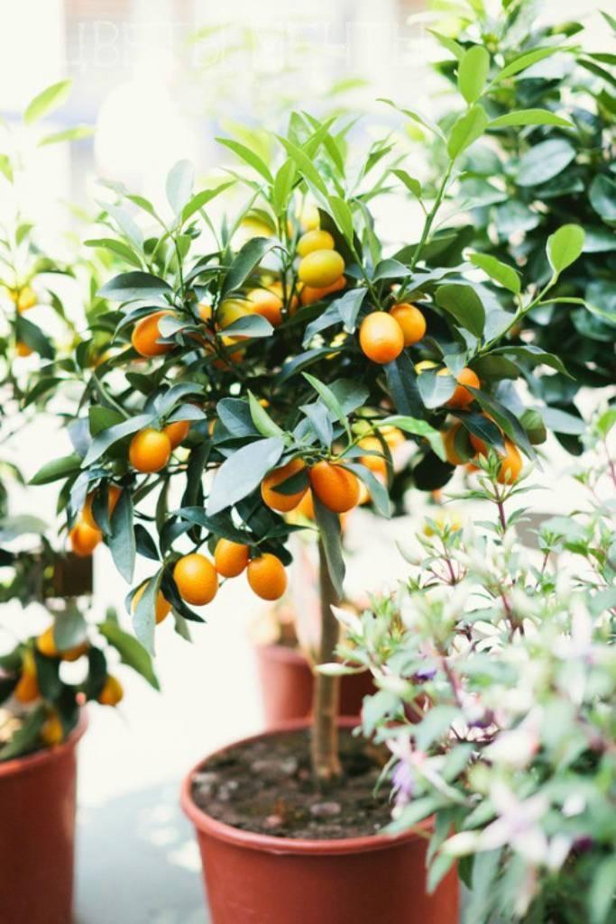 «кровавый» цитрус родом из китая — сицилийский апельсин