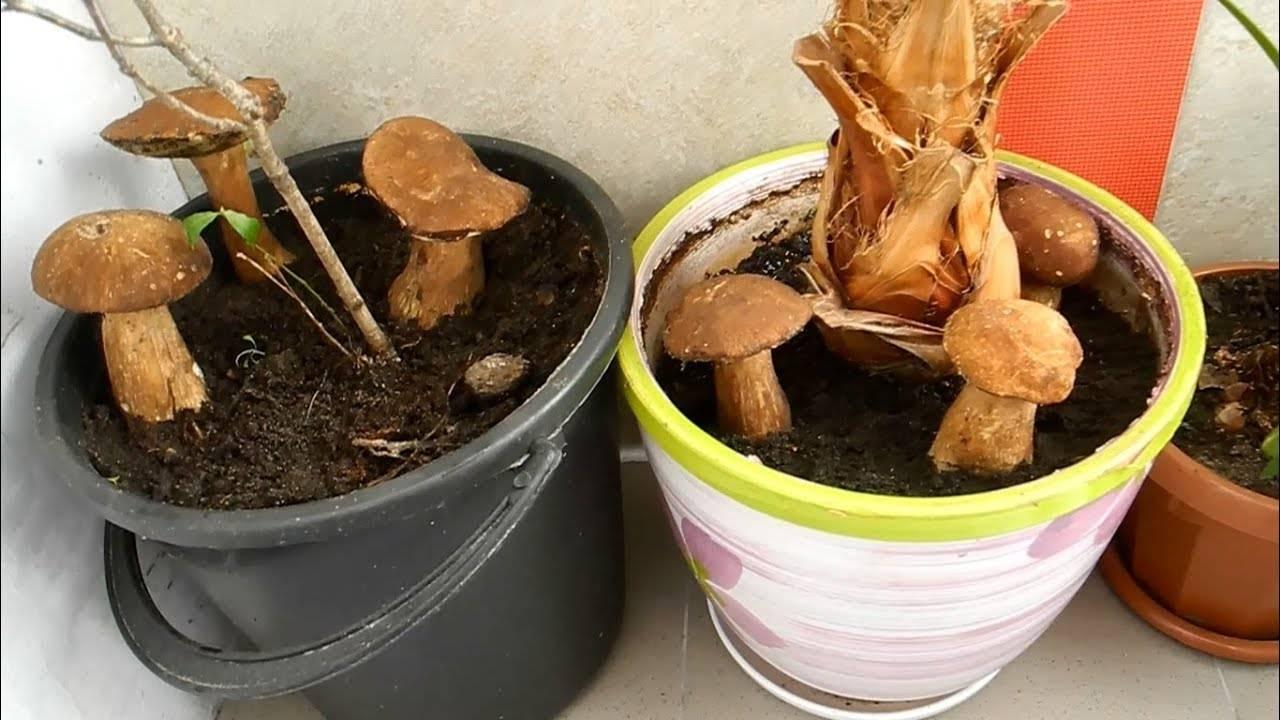 Как вырастить грибы дома на подоконнике или балконе