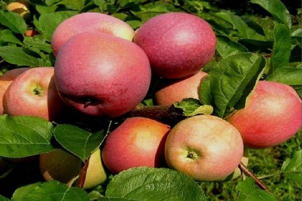 Яблоня сорта слава победителям: описание и характеристика, агротехника выращивания и ухода, фото