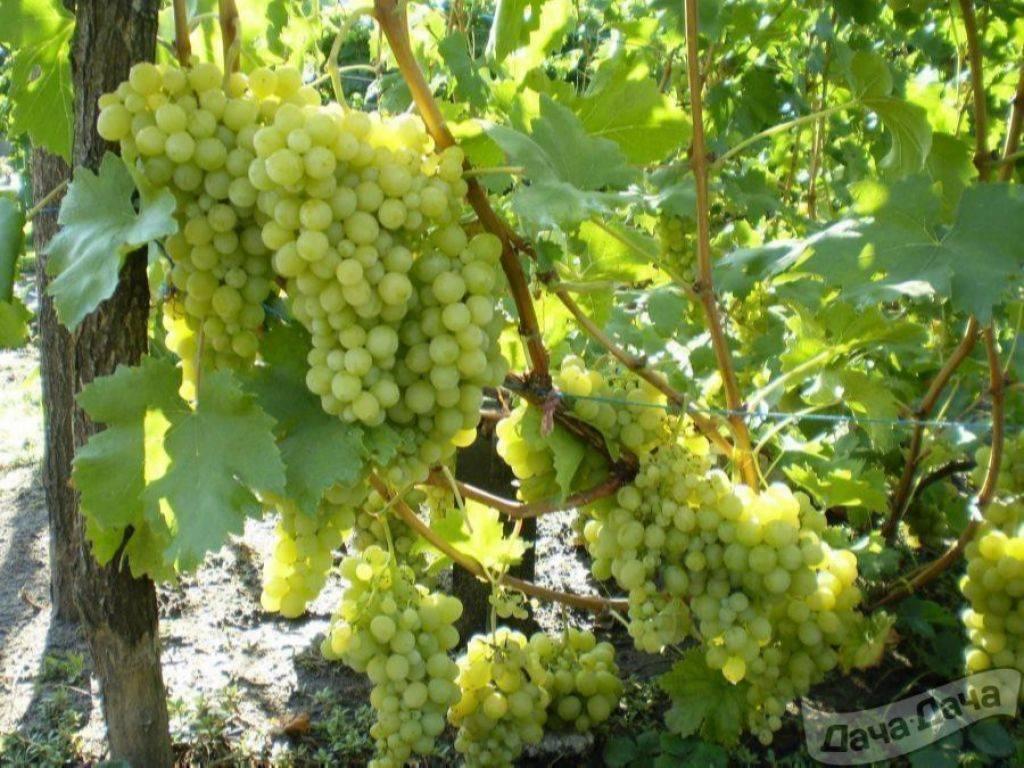 Виноград алекса - высокоурожайный и морозостойкий сорт