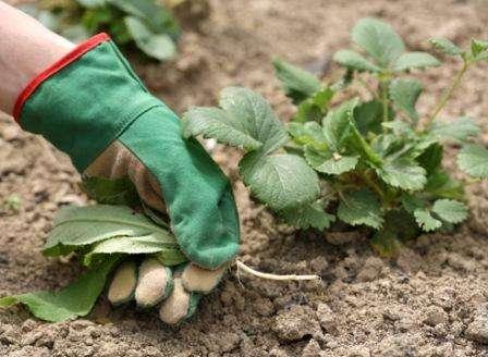 Уход за клубникой осенью: особенности процесса   заготовки на зиму