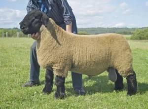 Овцы породы «тексель», особенности выращивания