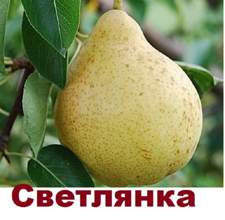 """Груши """"елена"""" : описание сорта, характеристики и фото selo.guru — интернет портал о сельском хозяйстве"""