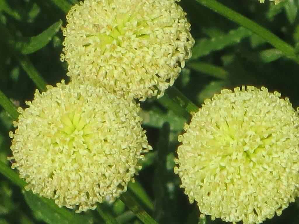 Сантолина – растение для дома и сада