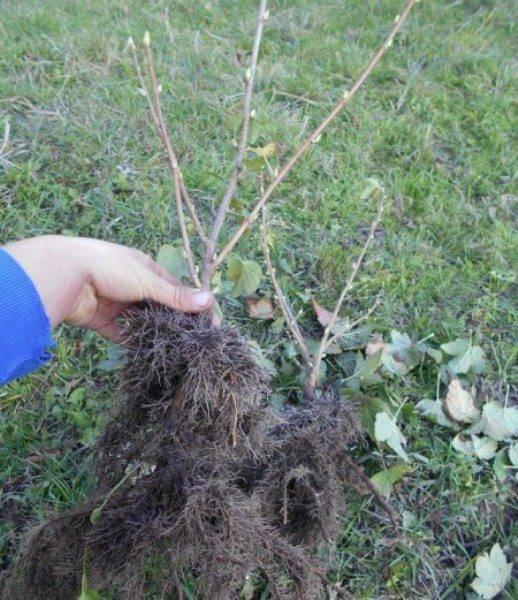 Посадка чёрной смородины: как правильно посадить весной и осенью, схема как сажать, видео