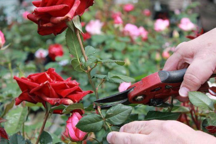 Теперь вы знаете все, что нужно, чтобы срезанные розы стояли еще дольше