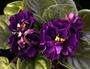 Сорт фиалки черная жемчужина фото - натуральное хозяйство и природное здоровье