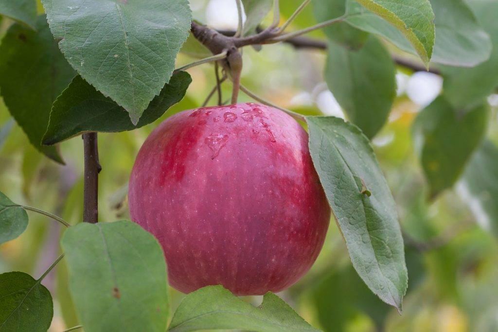Сорт яблони флорина: описание, фото