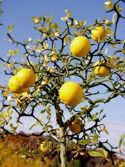 Лимонное дерево - 91 фото тропического вечнозеленого деревца