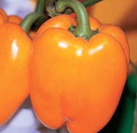 Перец оранжевое чудо: описание и отзывы о гибриде, фото урожая, секреты выращивания этого сорта
