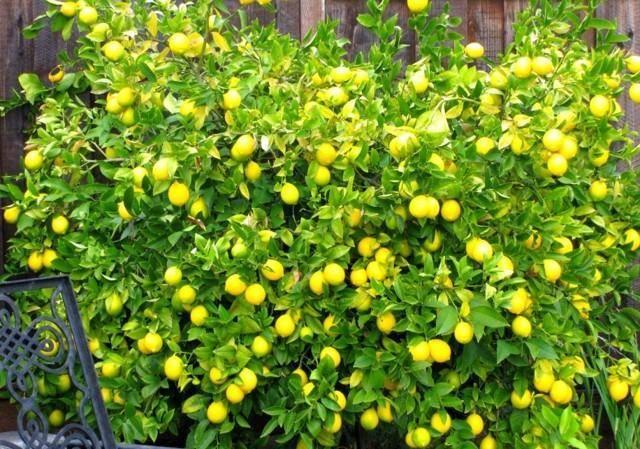 Лимон мейера: уход в домашних условиях, описание китайского сорта