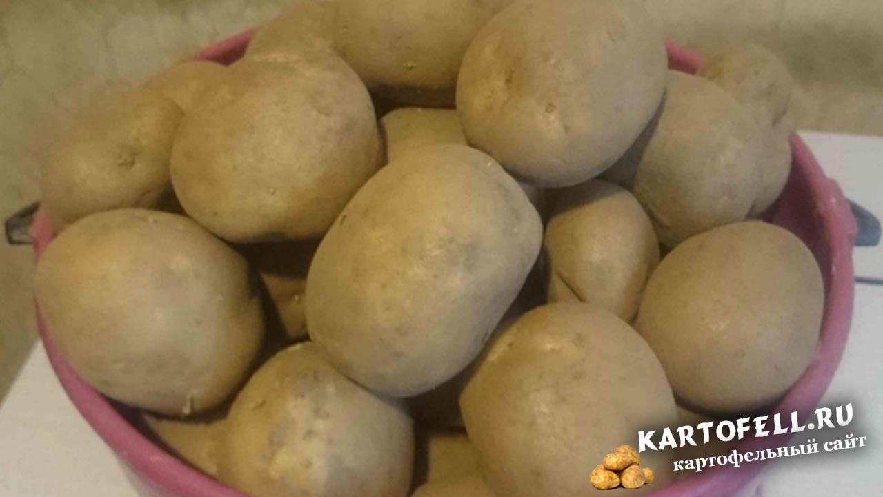 """Картофель """"колобок"""": описание сорта, фото, характеристики и особенности выращивания русский фермер"""