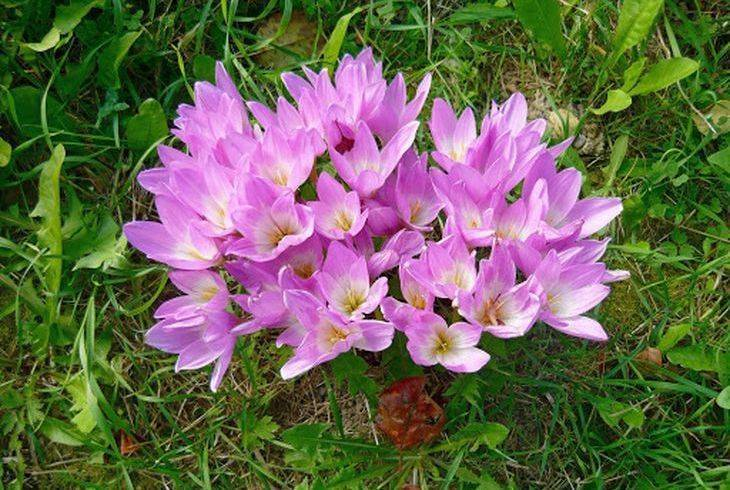 Цветок безвременник: популярные сорта с фото, посадка и уход, размножение растения