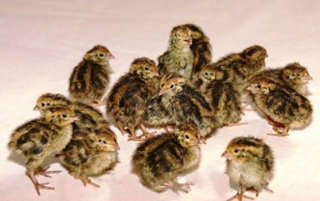 Перепёлка — маленькая птица в большом деле: породы и их характеристика