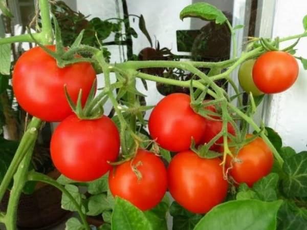 Рекомендации, как и чем опрыскивать помидоры: правила и выбор средства