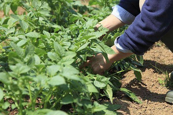 Почему у картошки высокая или маленькая ботва и что делать