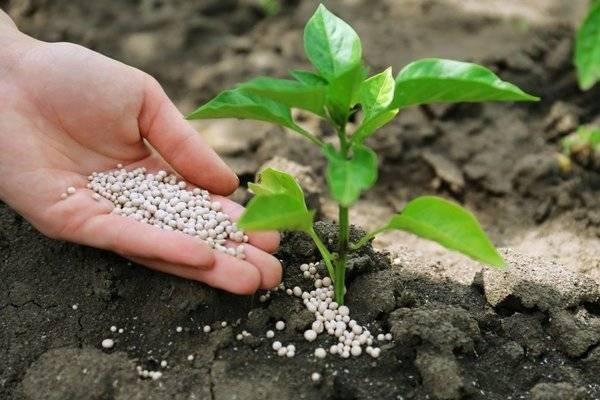 Чем подкормить рассаду перцев: поэтапное удобрение