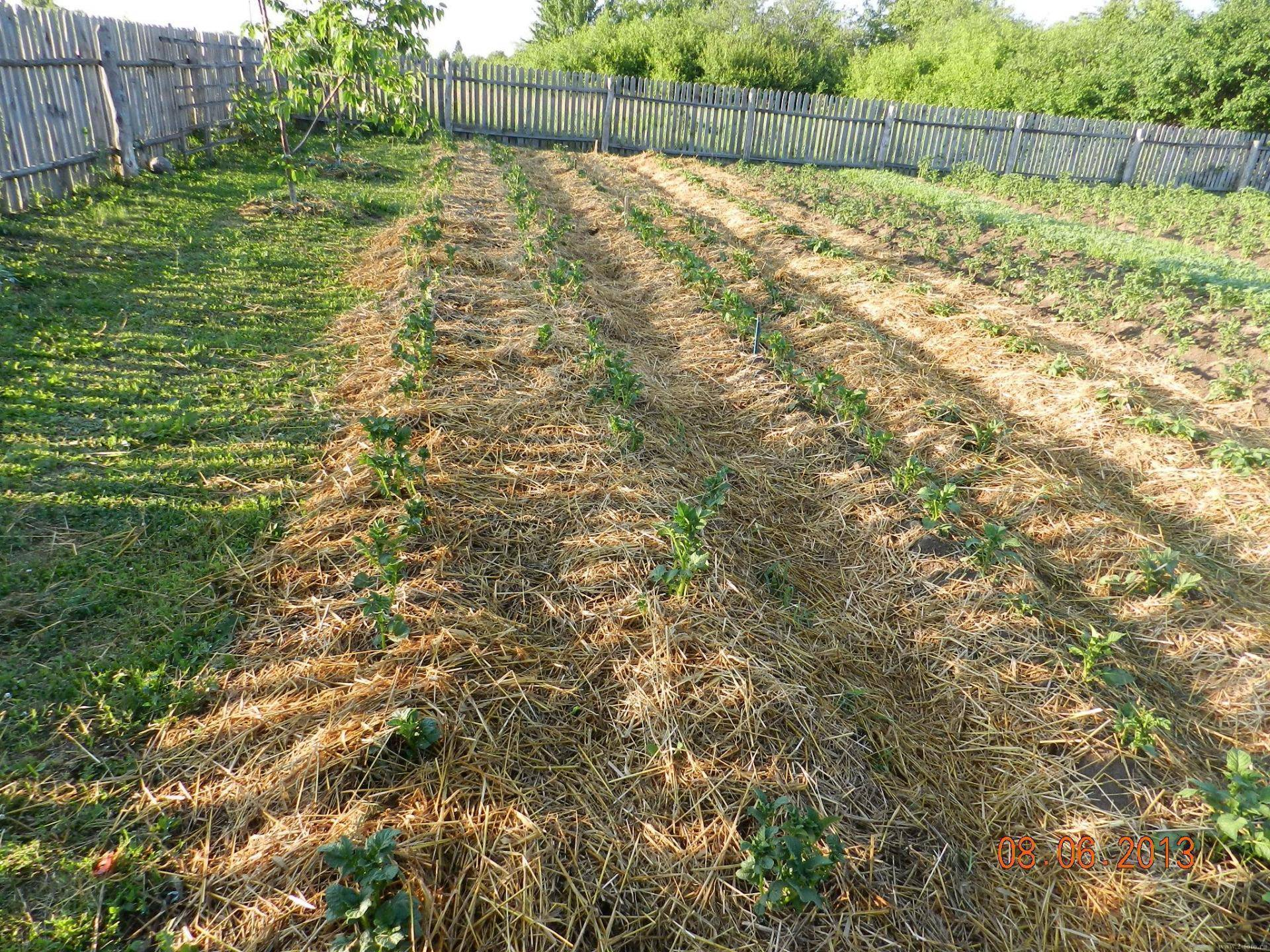 Голландская технология выращивания картофеля: увеличение урожая картофеля в 2 раза