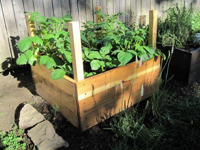 Технология выращивания картофеля и ухода за ним в бочке