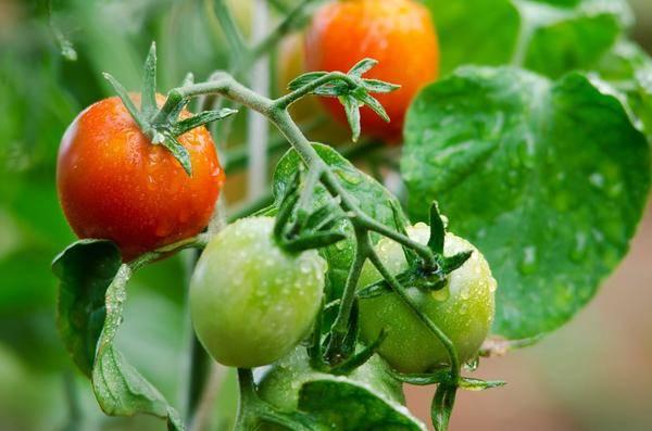 Подкормка томатов: чем подкормить помидоры вовремя цветения иплодоношения | good-tips.pro