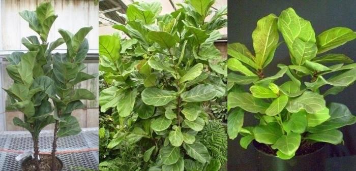 Фикус лировидный: тропический красавец в вашем доме | огородники