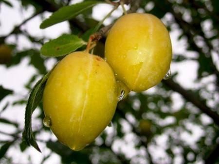 В честь королевы клод: популярные сорта сладких слив — ренклоды
