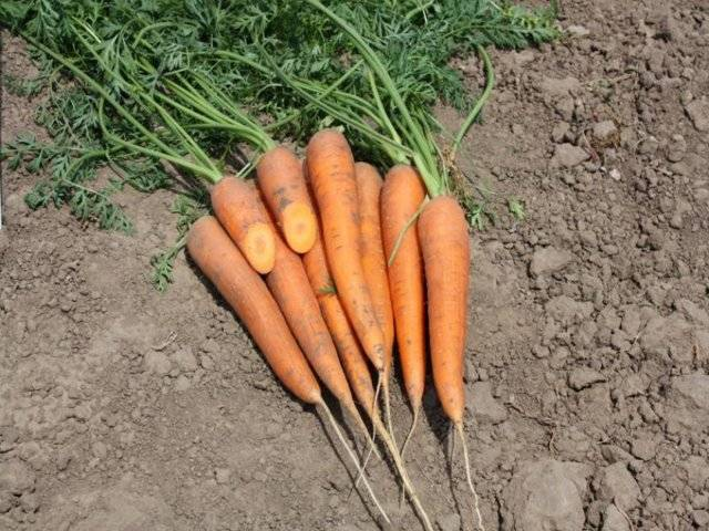Морковь: посадка под зиму 2020 года