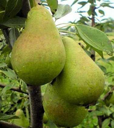 Характеристика сорта груши ноябрьская и правила ее посадки