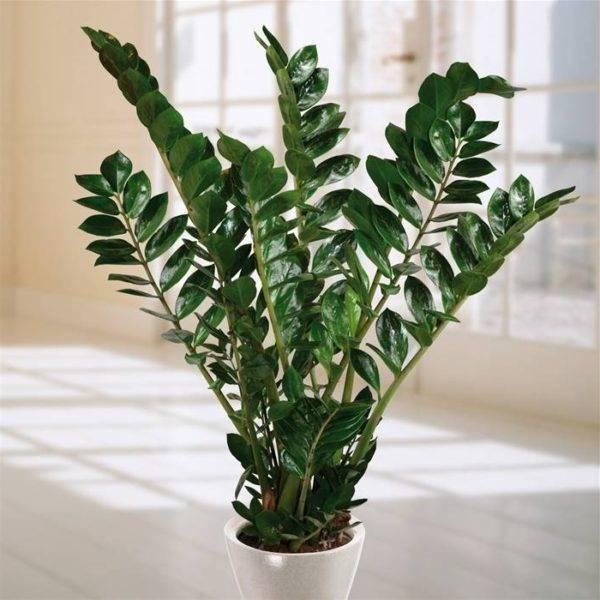 Тенелюбивые комнатные растения: их фото и названия