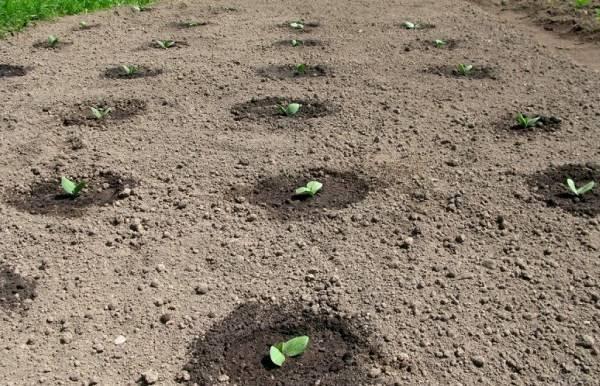 Все правила выращивания огурцов в открытом грунте – дачные дела