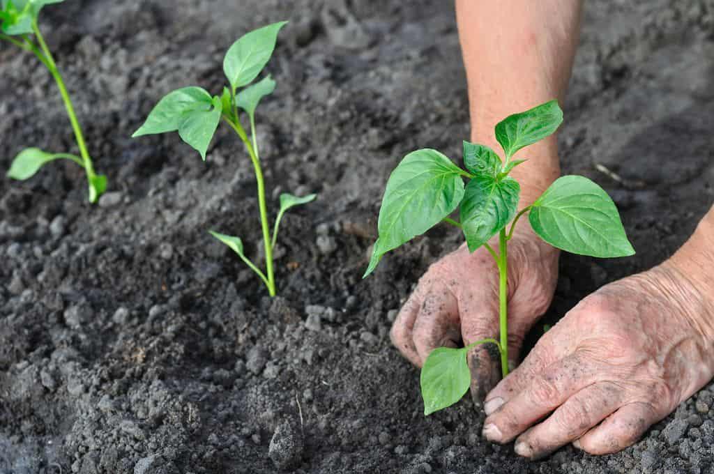 Краткая характеристика перца золотое чудо, выращивание и уход за кустами