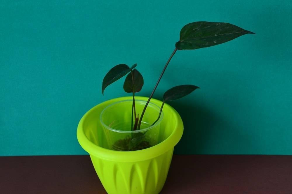 Пересадка антуриума в домашних условиях: как правильно пересаживать цветок после покупки, особенности ухода