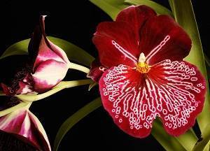 Орхидея мильтония: виды, описание и уход