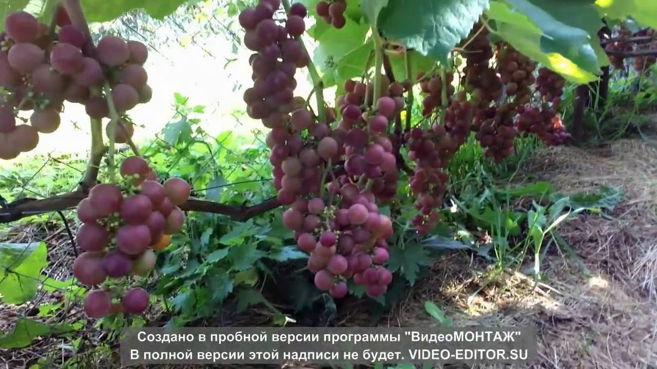 Виноград розовый ранний и другие виды: описание сорта, его характеристики и фото selo.guru — интернет портал о сельском хозяйстве