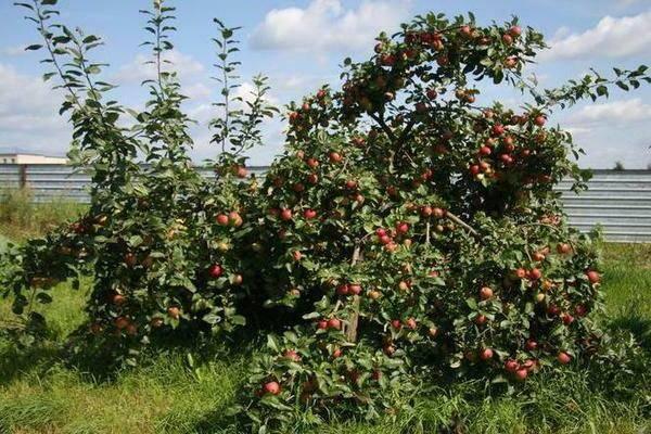 Яблоко веньяминовское