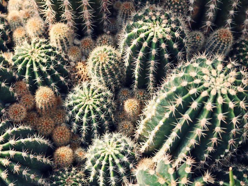 Пушистый кактус (27 фото): виды волосатого или мохнатого кактуса («эспостоа»), правила ухода за цветком с пухом