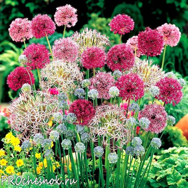 Рокамболь - гигантский чеснок - зелень | дом, сад и огород