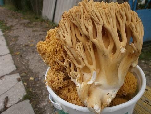 Оленьи рожки – грибы необычной формы