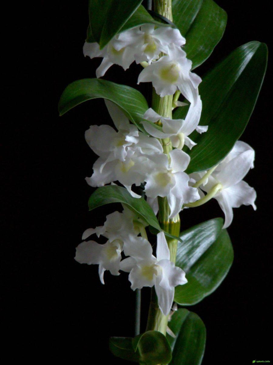 Орхидея дендробиум нобиле: уход, размножение | 110+ фото